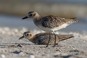 """Plovers"" by Kevin Harwood"