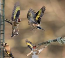 Fight at the Feeder by Janet Brown LRPS