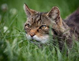 Scottish Wildcat Stalking by Daisy Kane