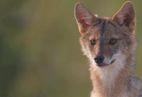 Young Jackal by Anne Nagle